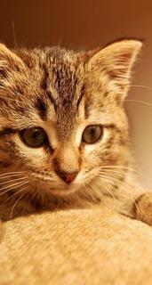 キジトラ猫 顔アップかわいい待ち受け画像 [iPhone5c/5s]